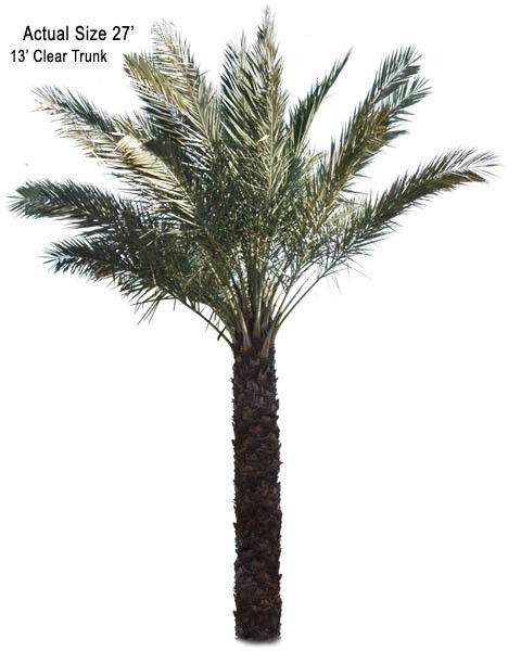 Date Palm Tree True Date Phoenix Dactylifera Edible Date Palm