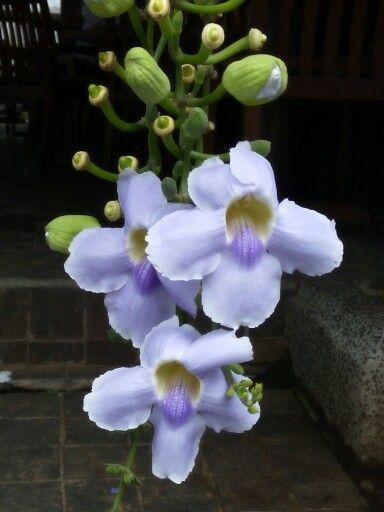 Bunga Air Mata Pengantin Tanaman