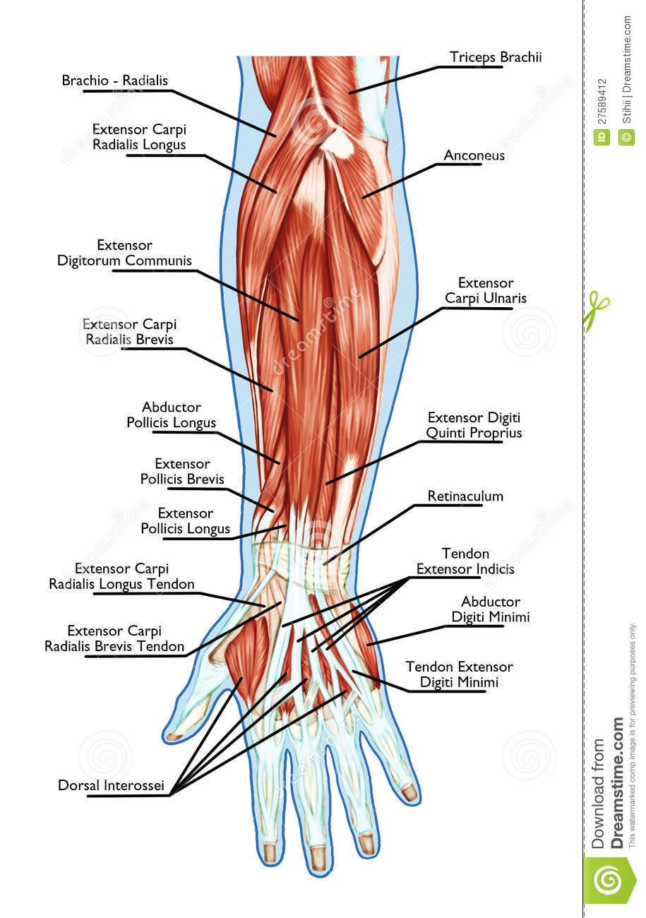Pin by stauroula kouitz on health | Pinterest | Anatomy, Muscles and ...