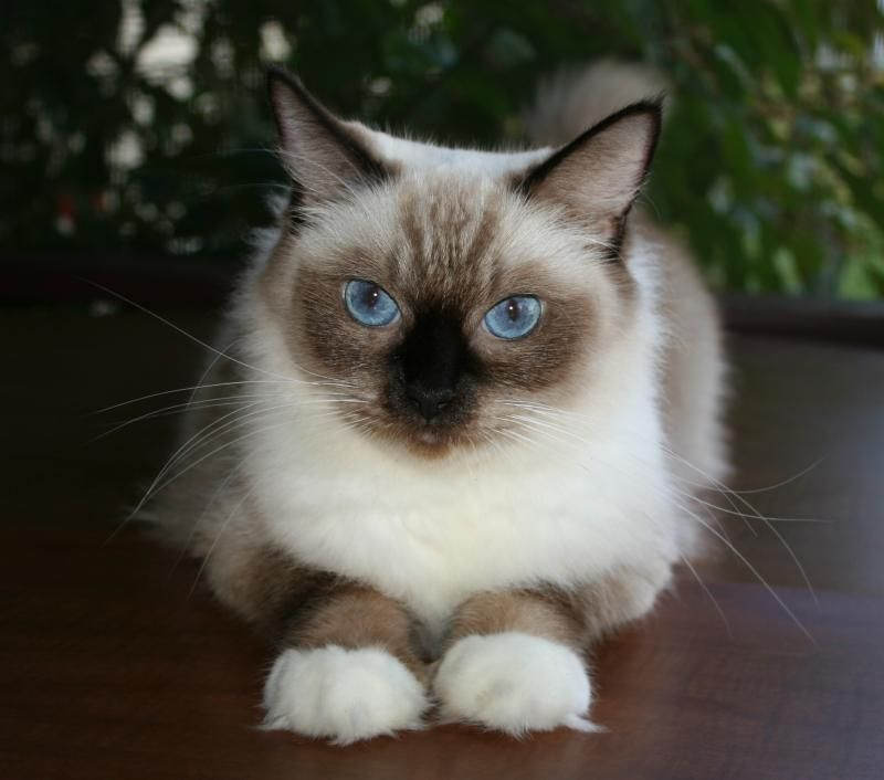 My Sofia As A Full Colored Full Grown Seal Mitted Adult With Images Ragdoll Kitten Ragdoll Cat Kitten Adoption