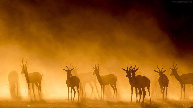 ANTELOPES IN THE MIST   Photograph by LEE BOTHMA Website | 500px | Facebook   In this beautiful sunset photograph by Lee Bothma, we see a group of Springboks in Kgalagada Transfrontier Park in South Africa. The springbok (Antidorcas marsupialis) is a medium-sized brown and white antelope-gazelle of southwestern Africa. It is extremely fast…