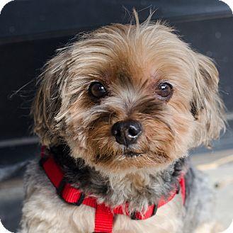 Encino, CA Yorkie, Yorkshire Terrier Mix. Meet Woody a