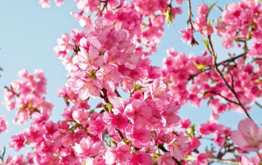 Download Gambar Pemandangan Bunga Sakura Gambar Bunga Sakura Wallpaper Bunga Sakura Can Cherry Blossom Wallpaper Cherry Blossom Painting Cherry Tree Tattoos