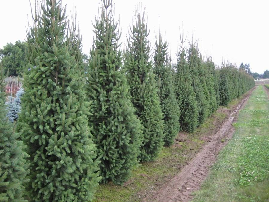 Tree Seeds Picea Abies, 30 Seeds of Norway Spruce Fast Evergreen