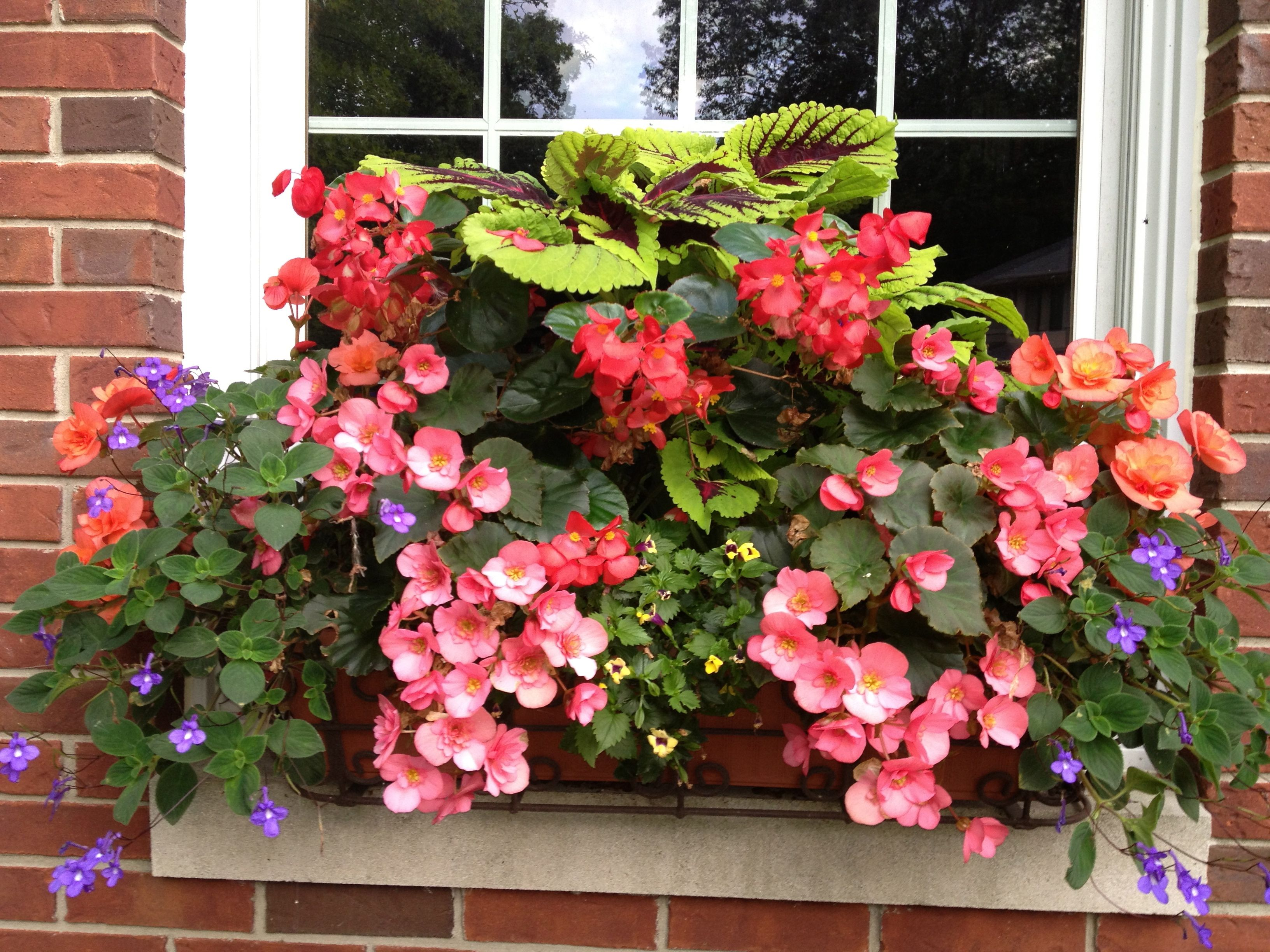 Coleus Begonias shade loving window box