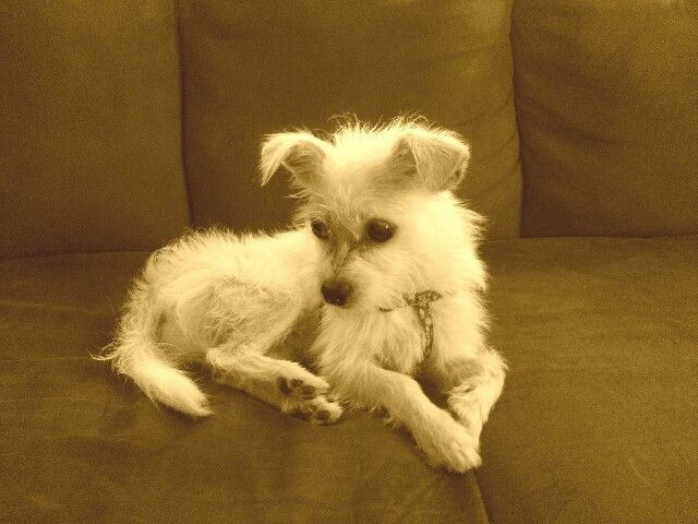 This Is My 8 Mo Old Long Haired Jack Russell Terrier Chihuahua