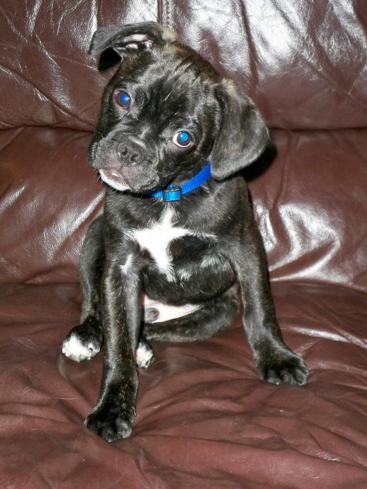 My Baby Bug Boston Terrior Pug Don T Let That Face Fool You