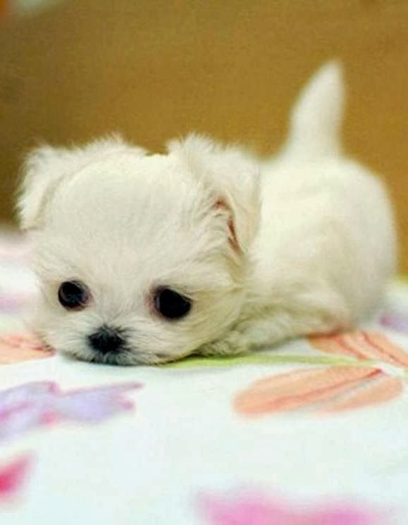 5 Tinniest Puppies You Have Ever Seen Very Tiny Baby Animals