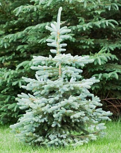 Blue Wonder Spruce In 2020 Dwarf Evergreen Trees Dwarf Trees Blue Spruce Tree