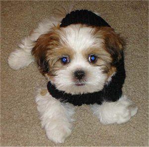 Zuchon Shichon Bichon Shih Tzu Hybrid Shichons Shichon Puppies Teddy Bear Dog Teddy Bear Puppies