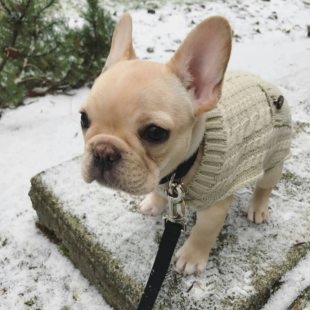 French Bulldog Sweaters Cute Baby Animals