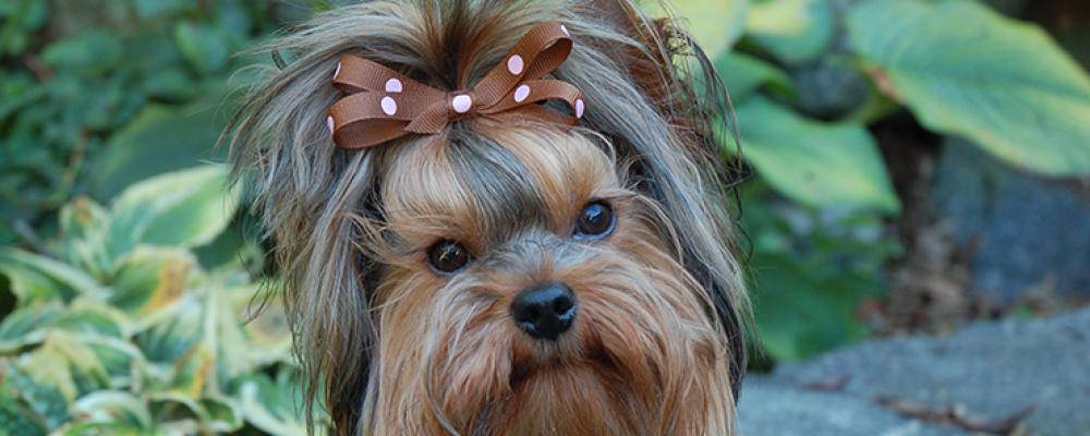 Toybox Yorkies – Raising Quality Yorkshire Terriers for Over 20 Years