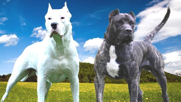 Pin By Mary T Baker On Dogo Argentino With Images Bully Dog
