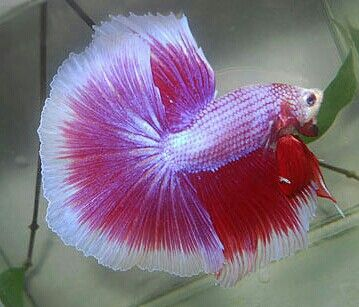 Purple red BF HM male