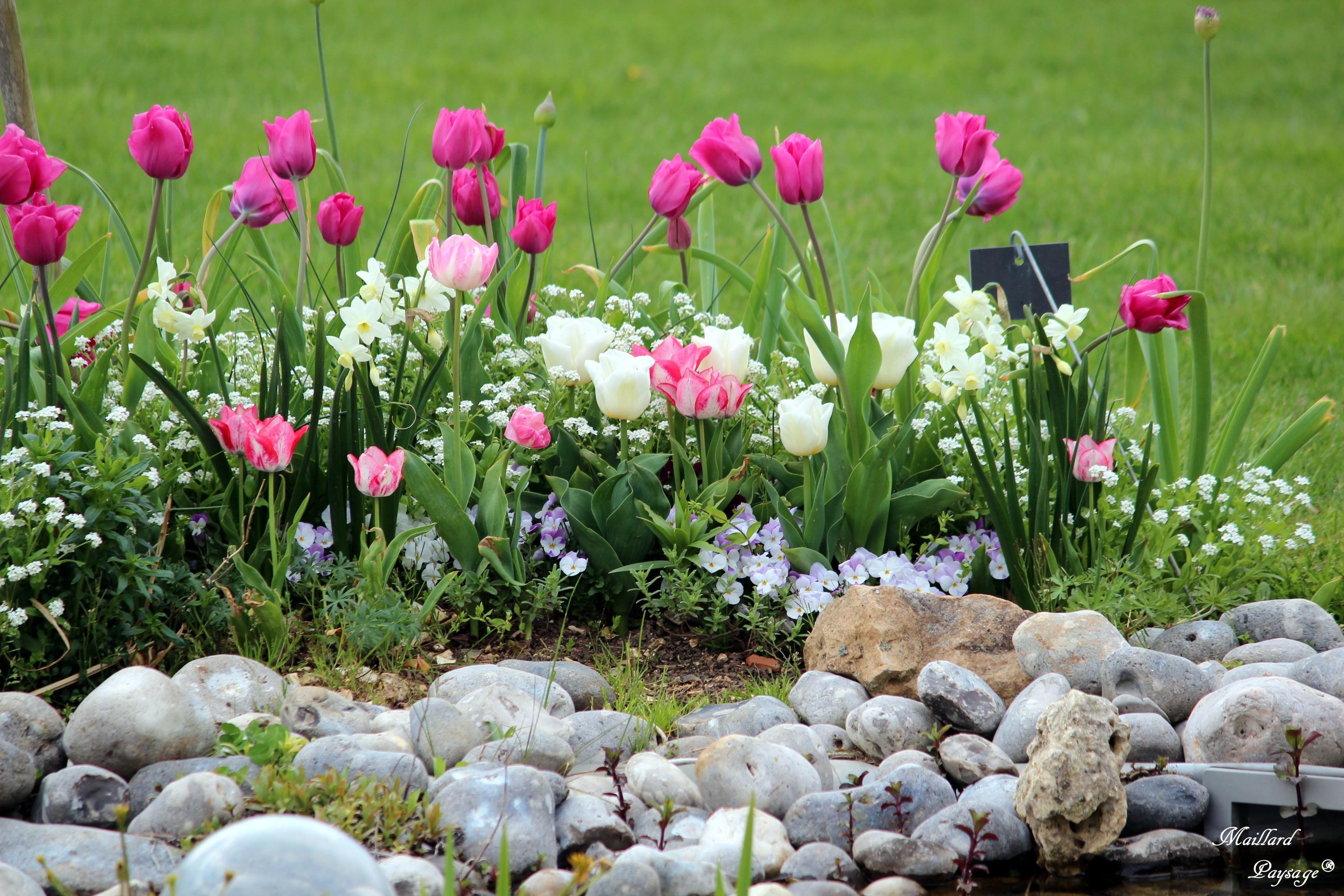 Massif planté de tulipes, myosotis et pensées Jardins