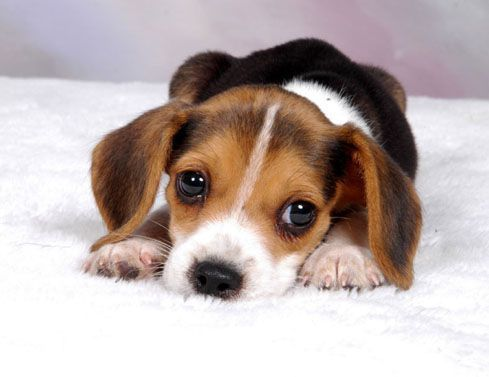 Cute beagles cute beagle puppy animals pinterest cute beagles cute beagle puppy voltagebd Gallery