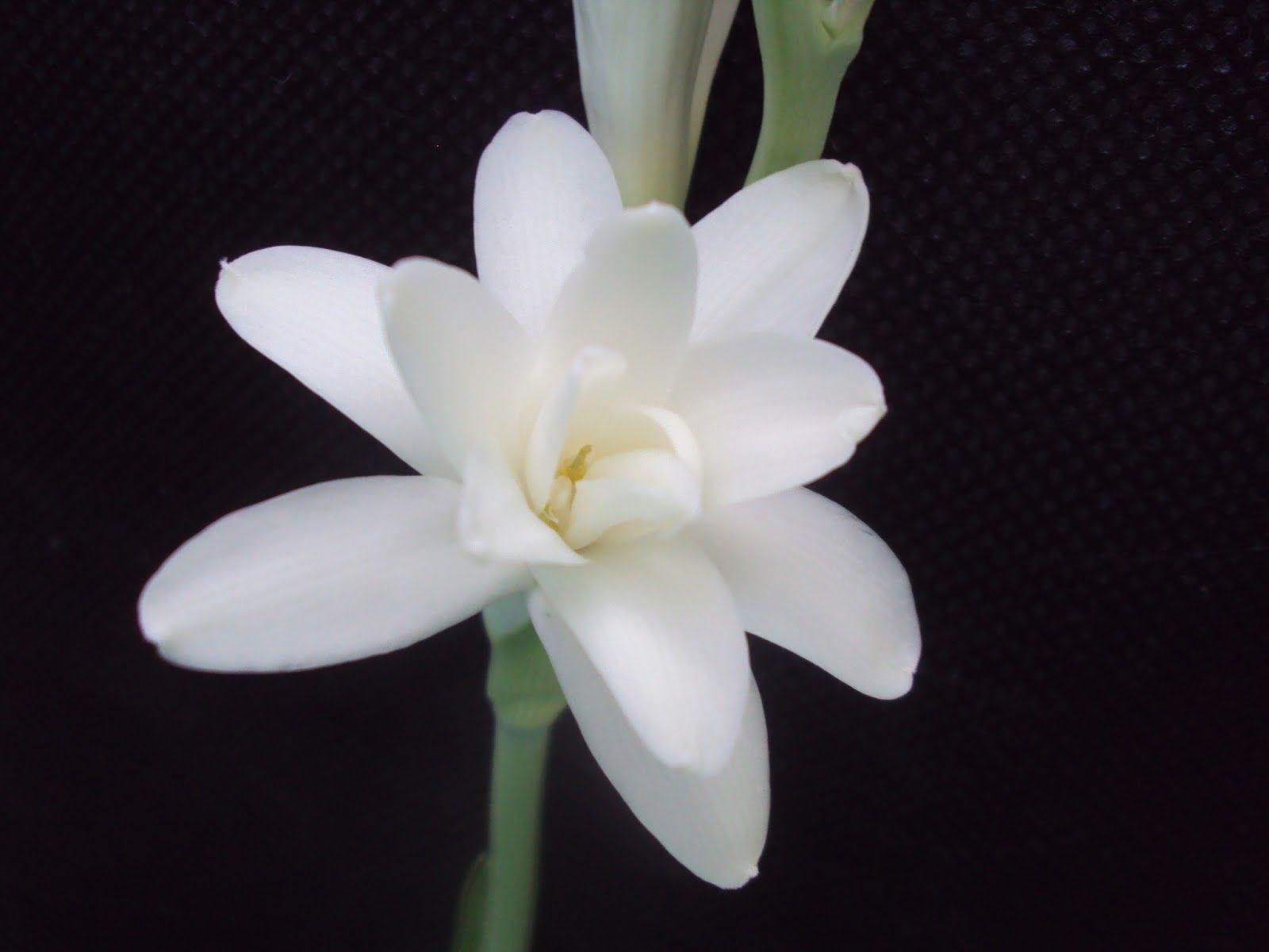 Resultado de imagem para Angelica flor