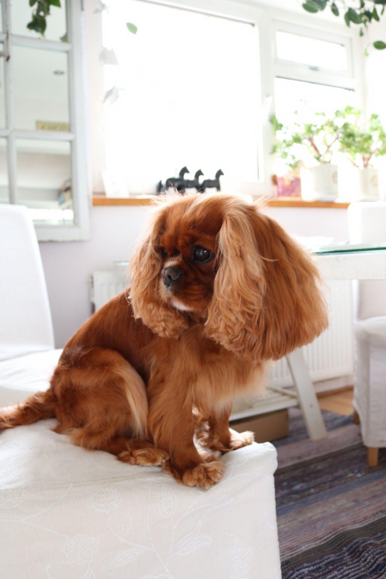 Ruby Cavalier King Charles Spaniel Sitting On White Chair