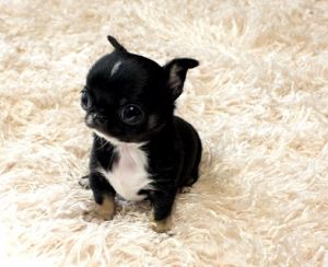 Chihuahua Puppies For Sale Ms Puppy Connection Chi Chi Wow