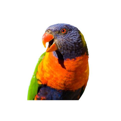 Rainbow Lorikeets For Sale Kellyville Pets (With images