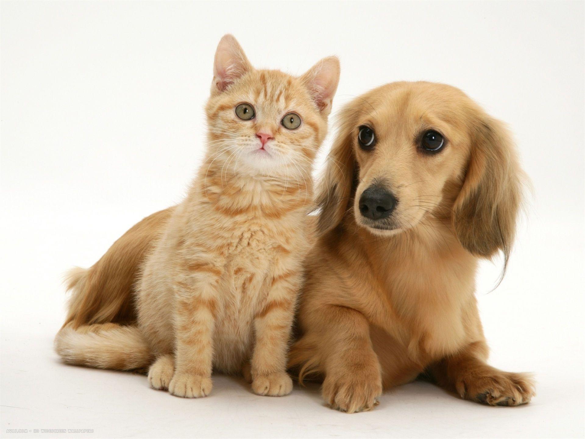 cream kitten with cream dapple dachshund puppy