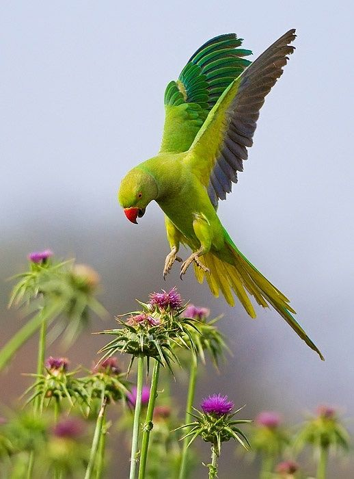 "Rose-ringed Parakeet | Rose-ringed Parakeet. | ""The Time of the Singing of the Birds Has C... 