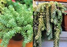 Resultados de la búsqueda de imágenes: plantas suculentas - Yahoo Search