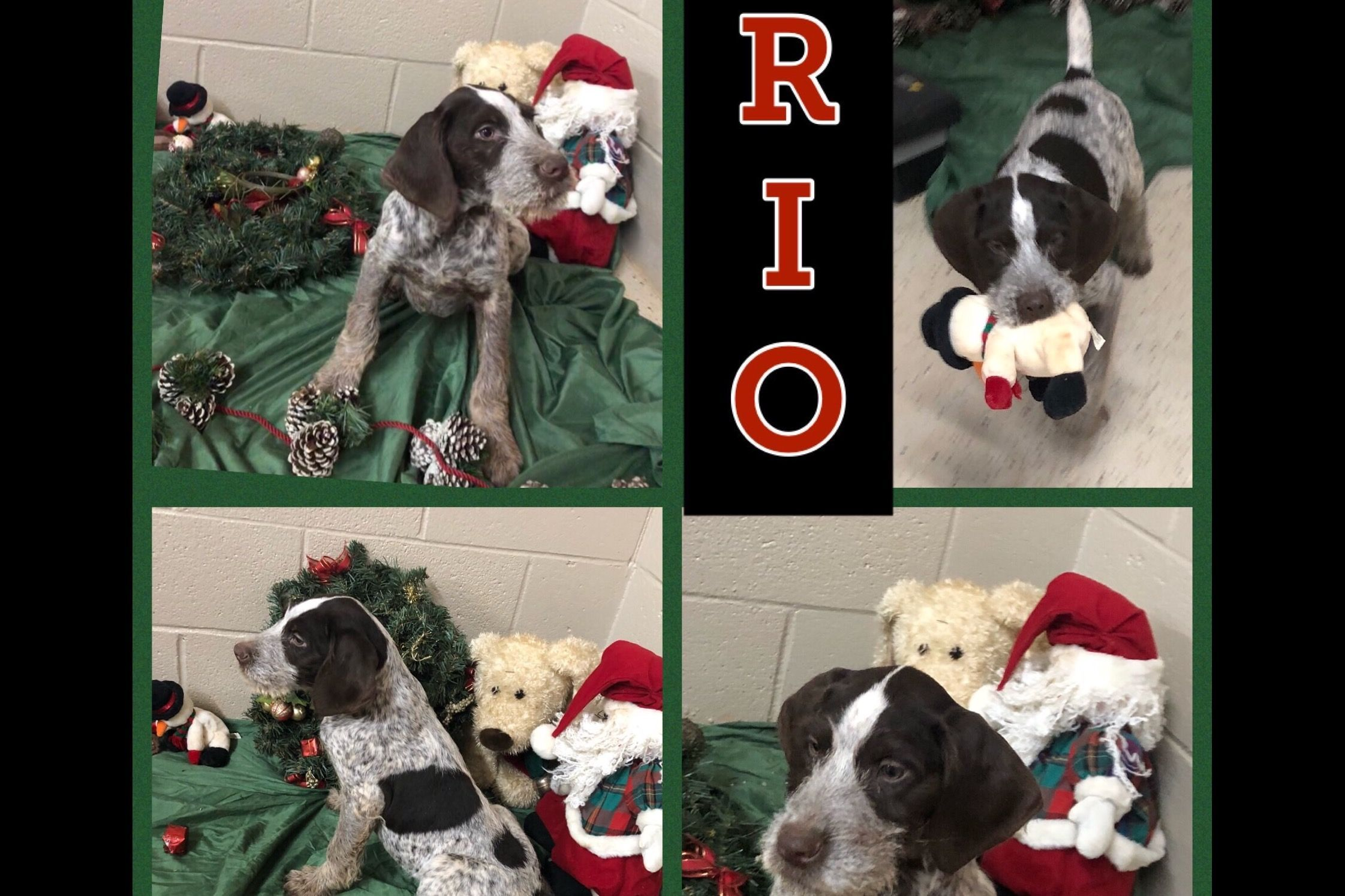 Kacie Davis Has German Wirehaired Pointer Puppies For Sale