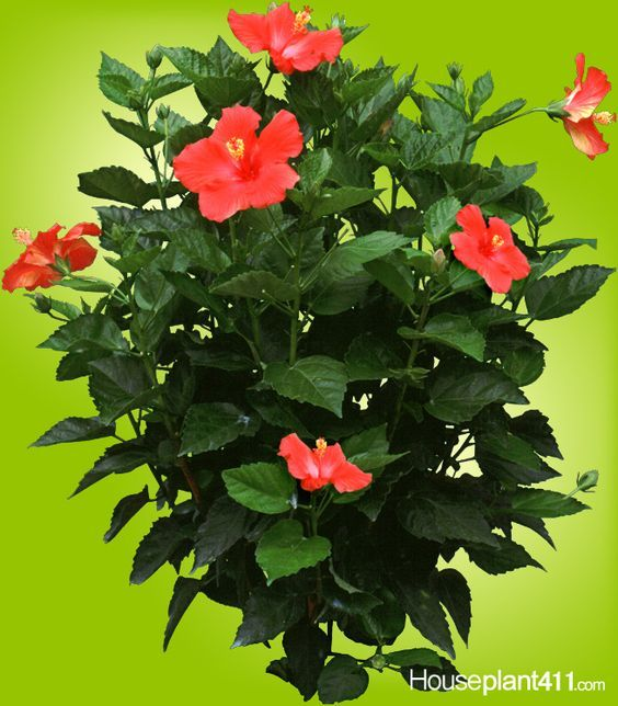 Pin By Houseplant 411 On How To Get Plants To Flower Hibiscus
