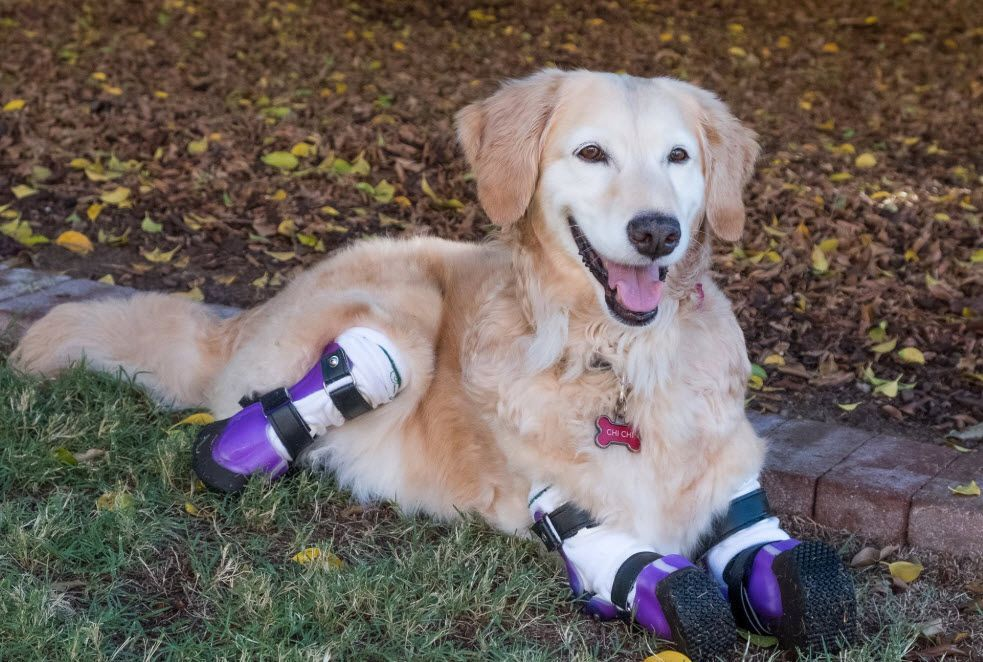 Therapy Dog With 4 Prosthetic Legs In Running For Hero Dog Award Golden Retriever Therapy Dogs Dogs