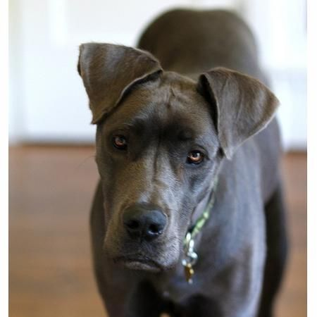 Claire, Great Dane   Rover.com: Dog Boarding Marketplace ...