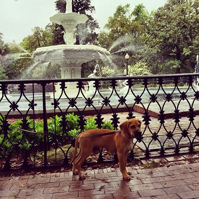 Dogs Love Strolling Through Savannah S Forsyth Park Savannah Chat Favorite Vacation Dog Friendly Hotels