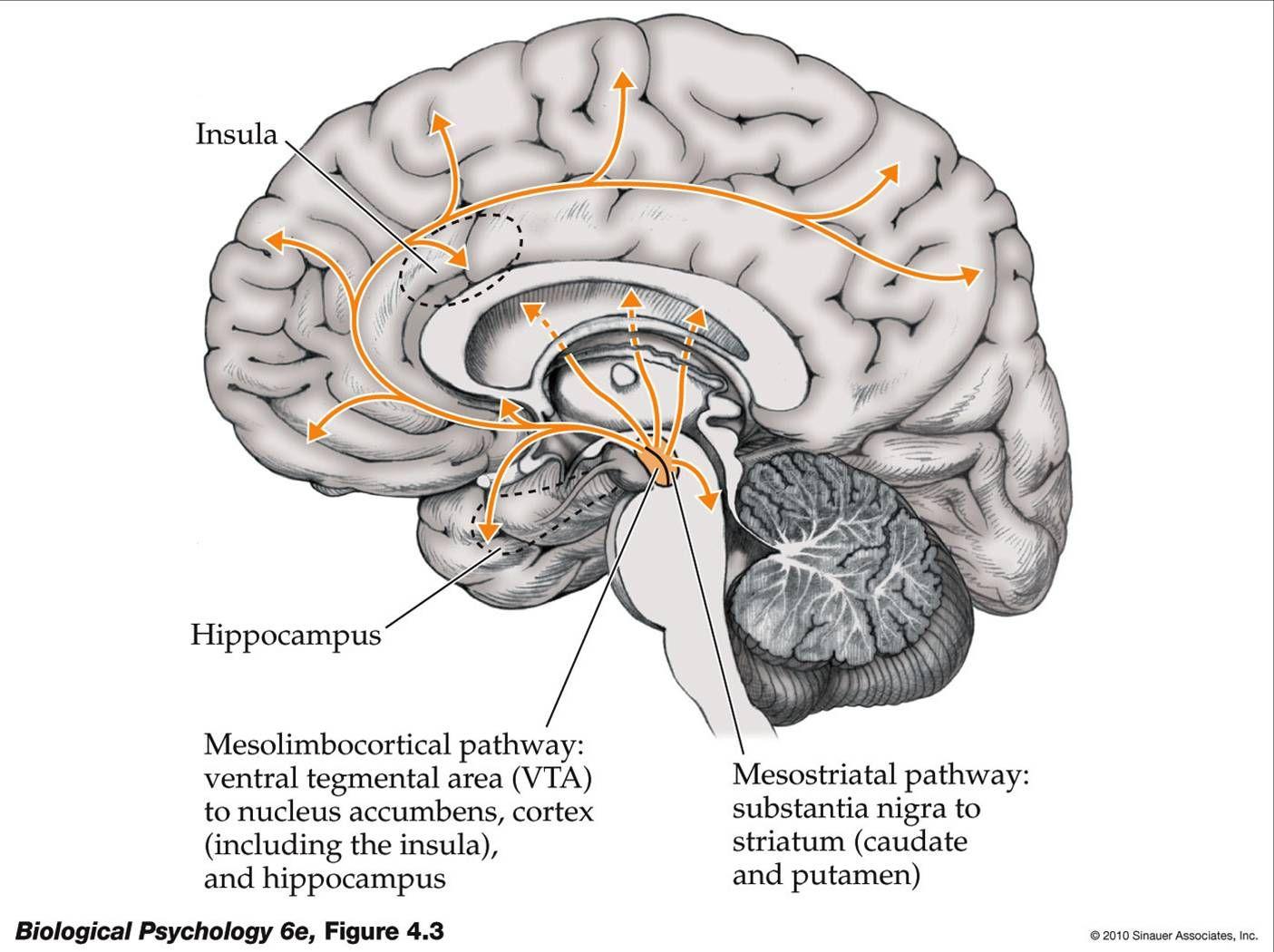 Dopaminergic Pathways: Nigrostriatal System (Substantia Nigra ...