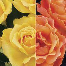 Livin Easy Easy Going Rose Tree 36 Tree Roses Tree Roses Edmunds Roses Rose Trees Shrub Roses Rose