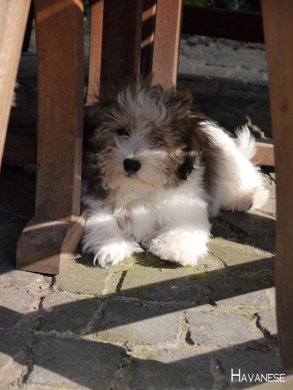 Havanesenetwork Havanese Dogs Full Grown Havanesenewyork Dogs