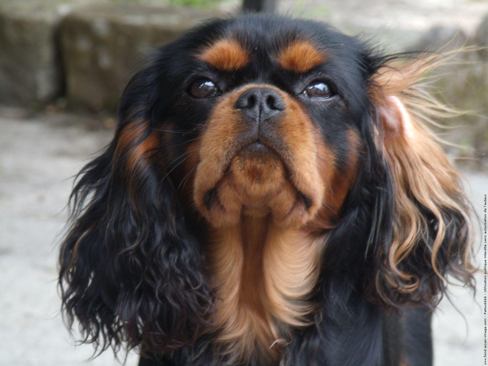 Noir et feu cavalier king charles chien cavalier chien et photo chien - Chiot cavalier king charles gratuit ...
