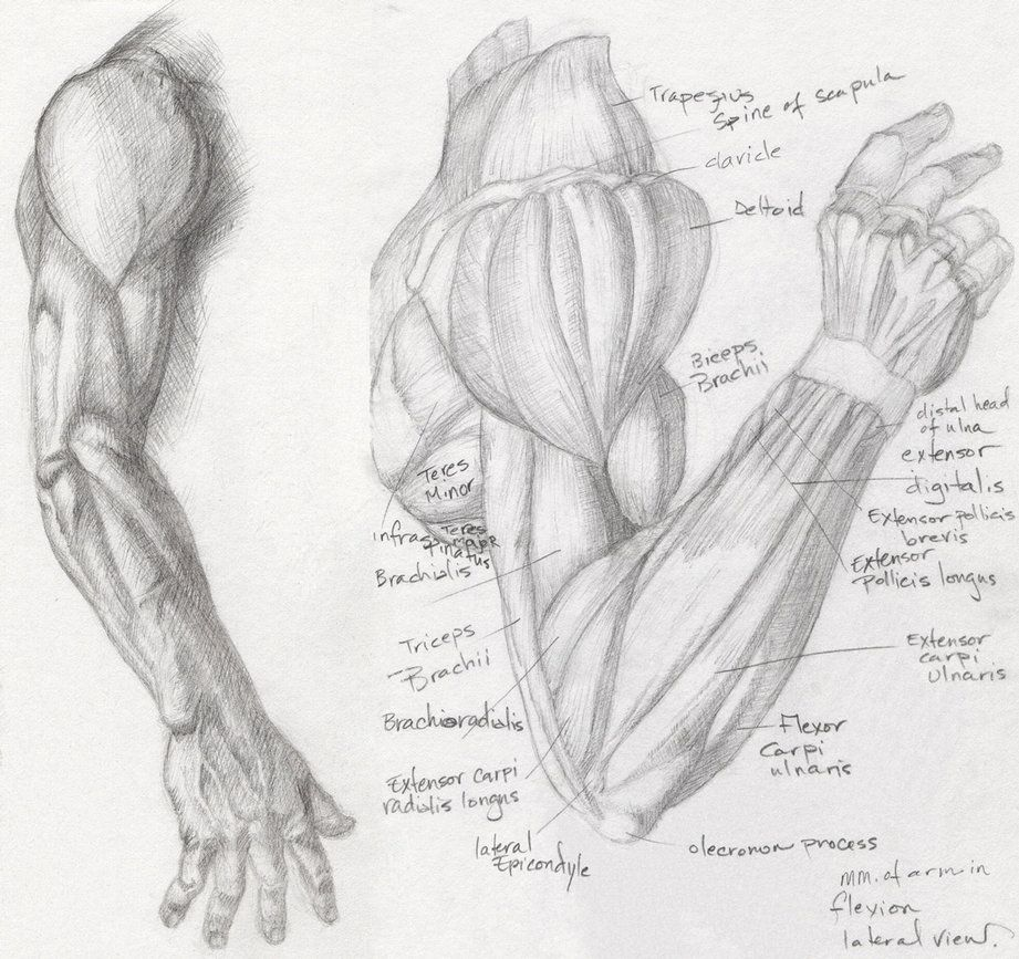 Anatomy Study - Arm 1 by Helen-Baq | Human Body Tutorials ...