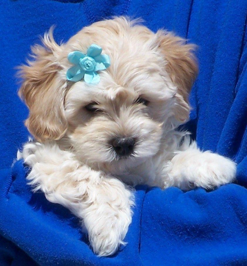 Corbin Havapoo Puppy For Sale In Christiana Pa