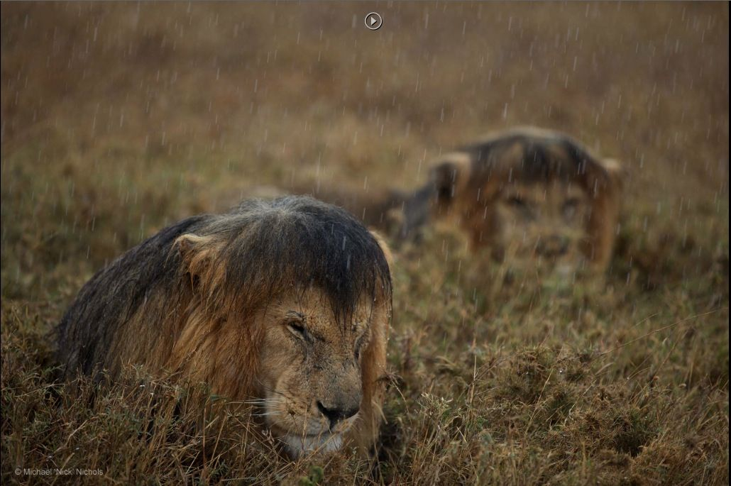 Commended 2013 Animals in their Environment Michael 'Nick' Nichols, USA Sharing a shower