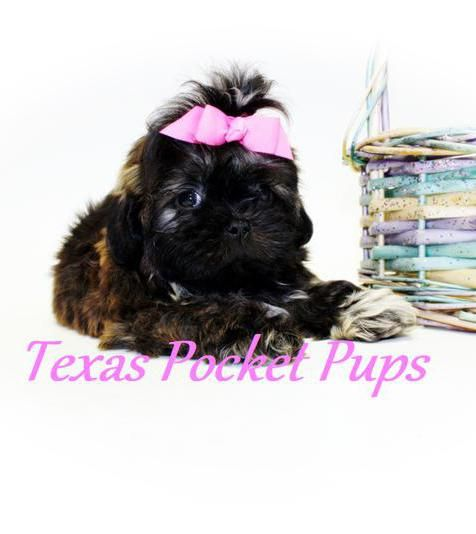 Dallas Tx Teacup Chihuahua Puppies For Sale Dallas Texas Breeder Chihuahua Puppies Teacup Chihuahua Puppies Chihuahua Puppies For Sale