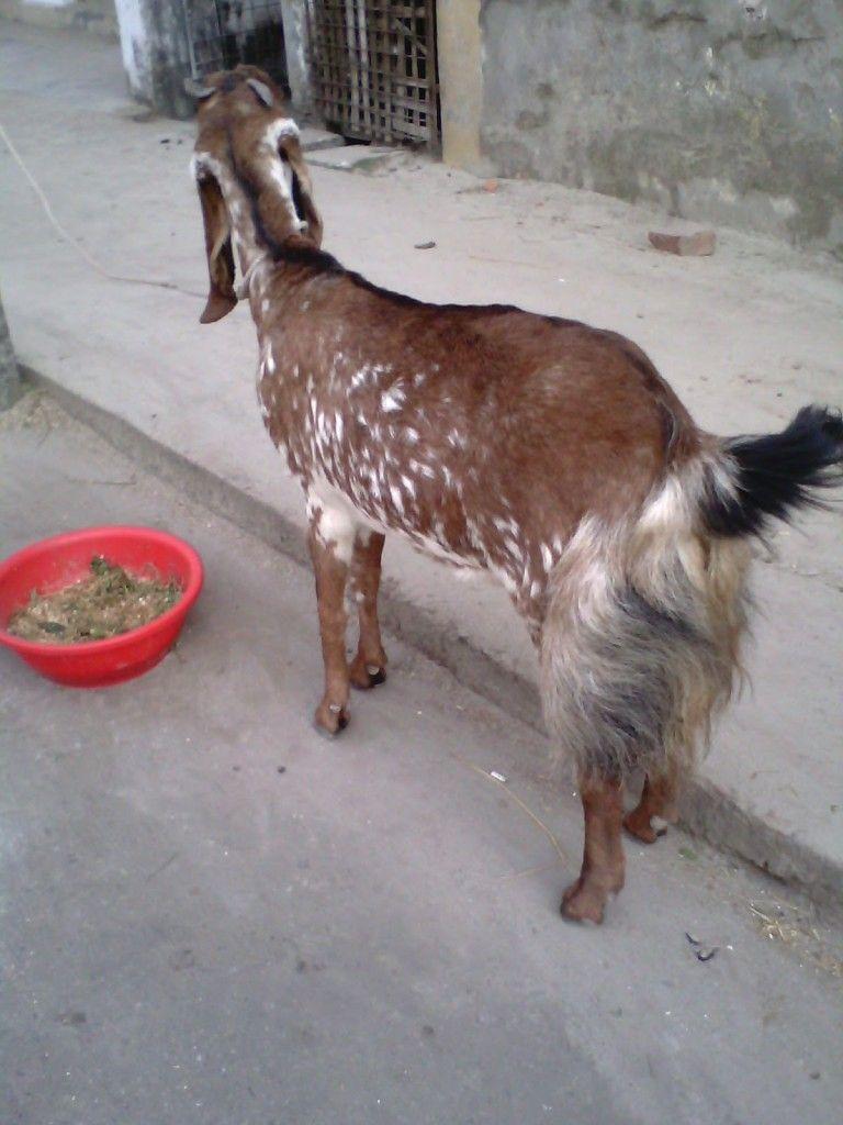 Jamunapari Goat Breed Information Goats, Goat farming