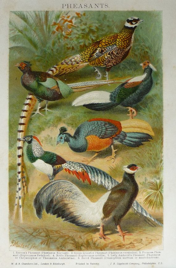 Old print of Pheasants English countryside by PrimrosePrints