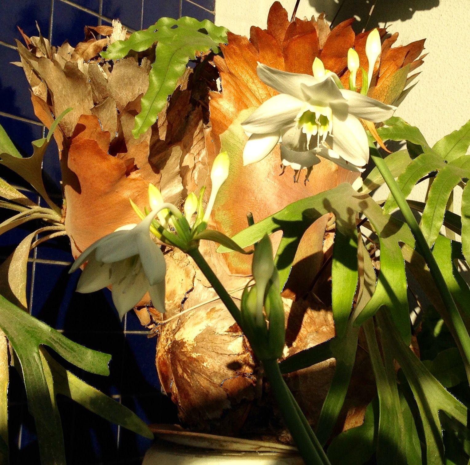 Chifres de Veado e Narcisos