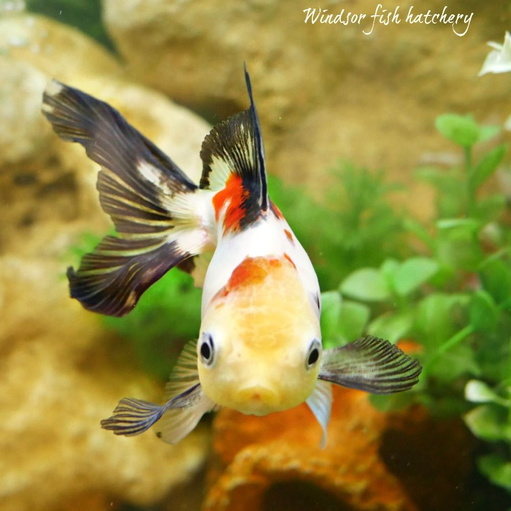 Goldfish Oranda Chinese Teddy Bear 12 13cm Female Gold477 Goldfish Goldfish For Sale Aquarium Fish