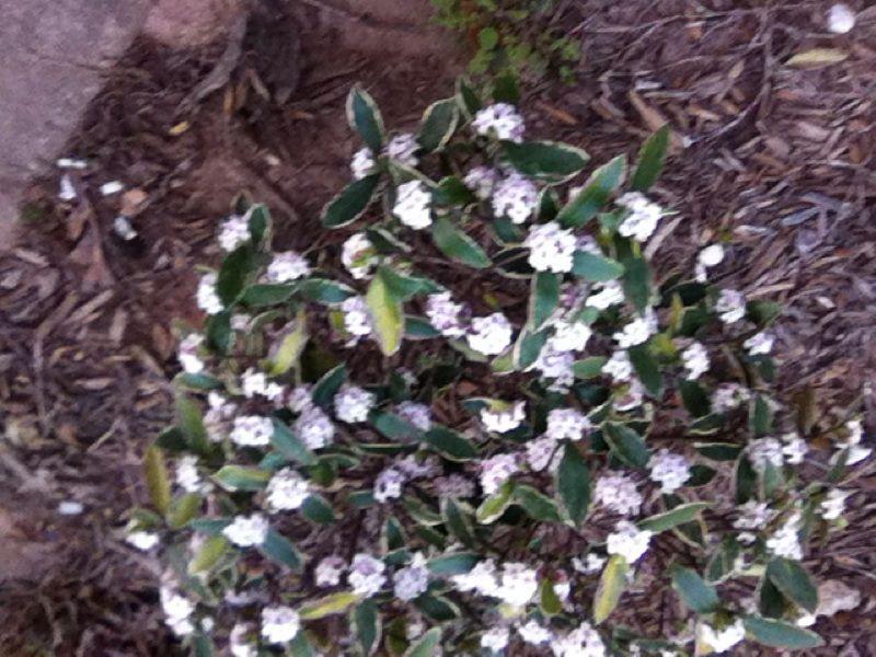 Winter Daphne (daphne odora aureomarginata): This appears to be a ...