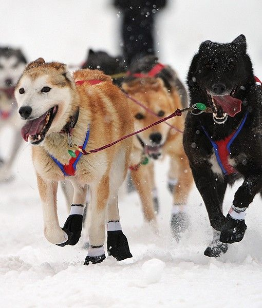 Iditarod Sled Dogs Dog Sledding Alaska Dog Iditarod