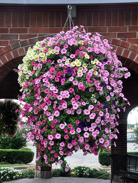 Petunias Hanging Basket Hanging Garden Hanging Flowers