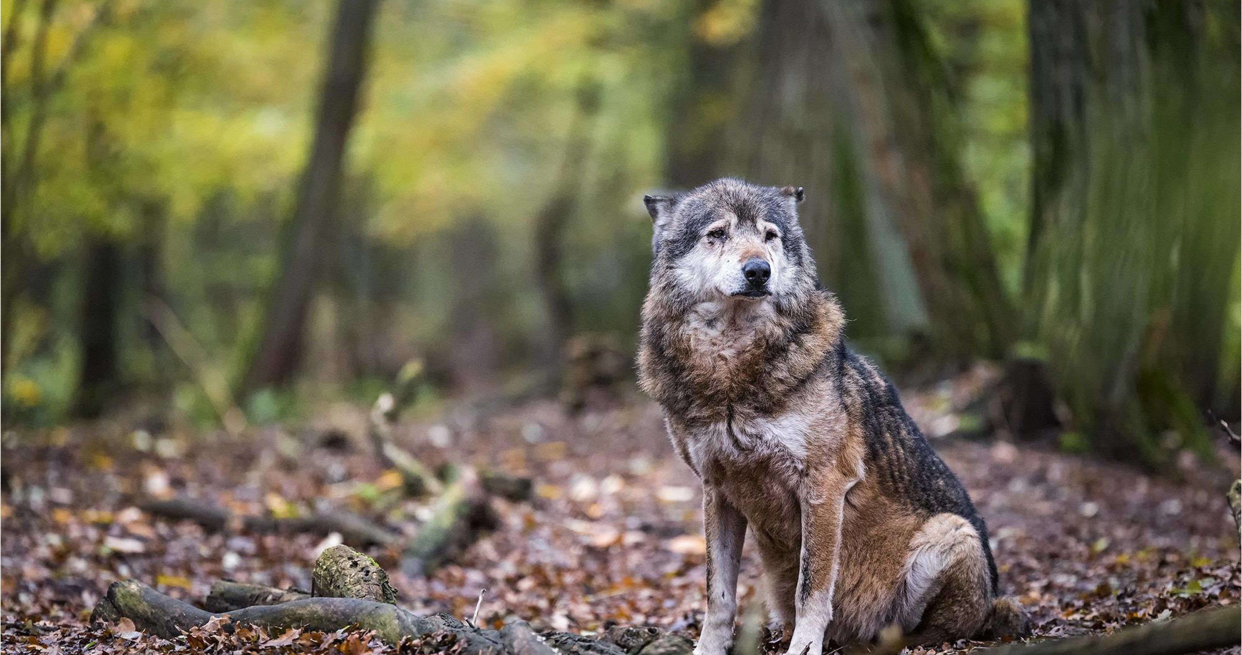 Beautiful Quotes Wallpaper For Facebook The Wolf In Forest 4k Ultra Hd Wallpaper Ultra Hd