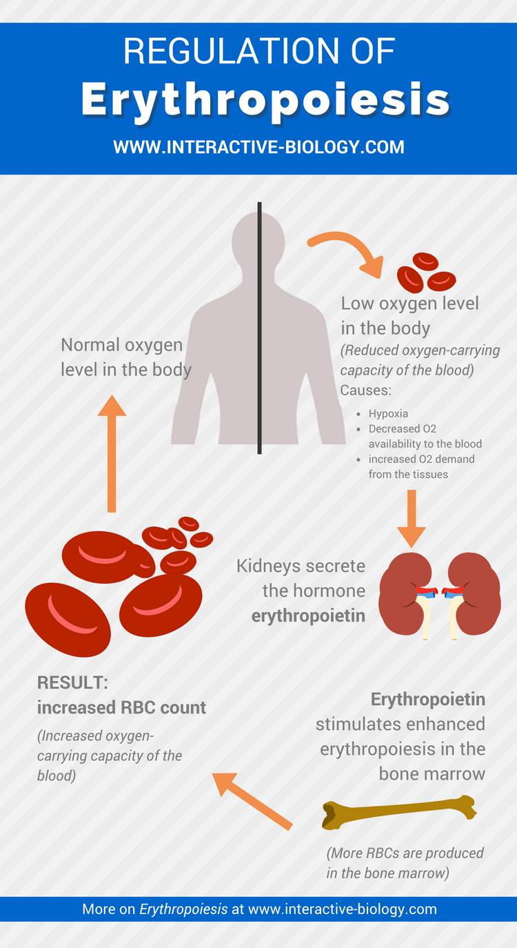 Regulation Of Erythropoiesis Infographic
