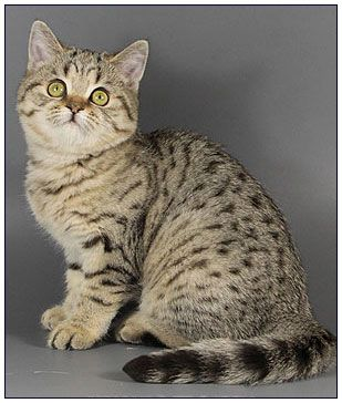 British shorthair cat, black golden spotted | A - Kitty Cat Crazy